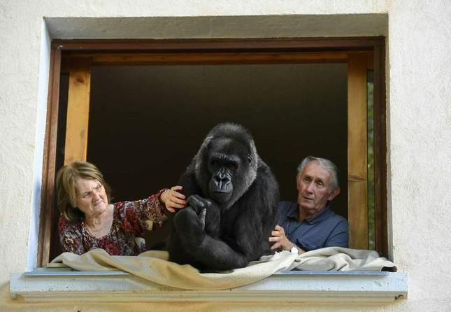 Vợ chồng già nuôi khỉ đột như con suốt 2 thập kỉ ảnh 2
