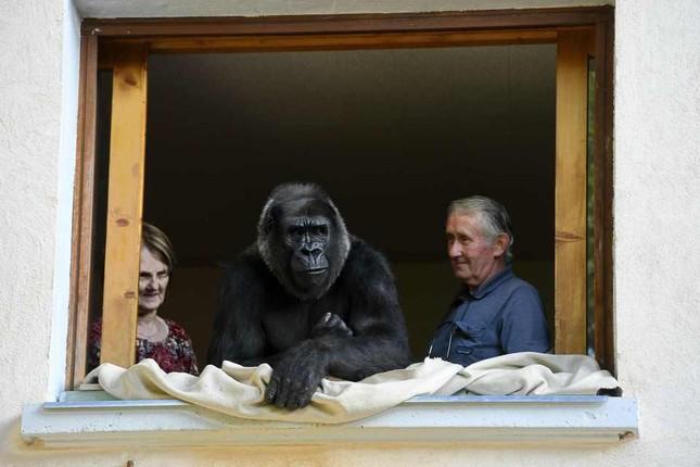 Vợ chồng già nuôi khỉ đột như con suốt 2 thập kỉ ảnh 3