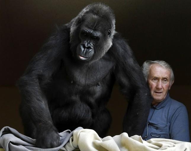 Vợ chồng già nuôi khỉ đột như con suốt 2 thập kỉ ảnh 5