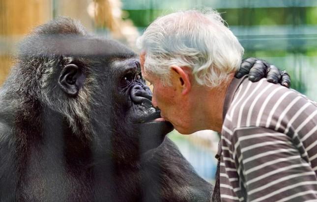 Vợ chồng già nuôi khỉ đột như con suốt 2 thập kỉ ảnh 6