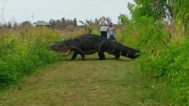 Sốc với cá sấu khủng lững thững qua đường ảnh 1