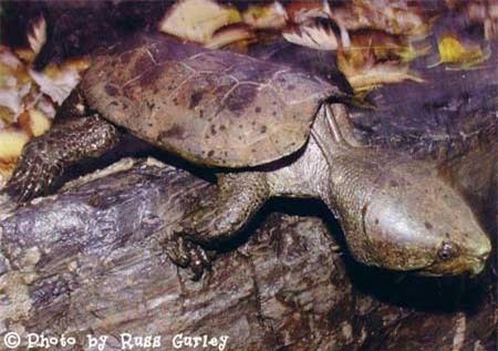 Loài rùa đầu to biết trèo cây, lạ nhất trong sách đỏ Việt Nam ảnh 1