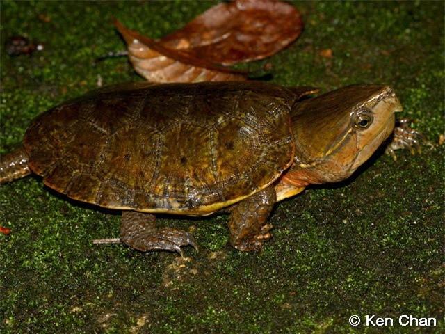 Loài rùa đầu to biết trèo cây, lạ nhất trong sách đỏ Việt Nam ảnh 2