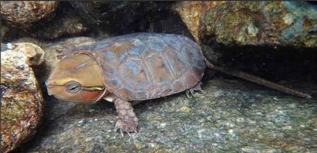 Loài rùa đầu to biết trèo cây, lạ nhất trong sách đỏ Việt Nam ảnh 3