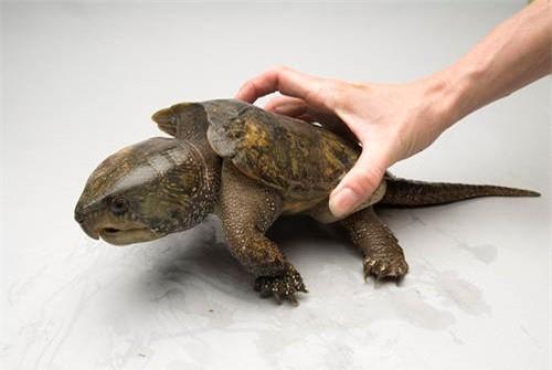 Loài rùa đầu to biết trèo cây, lạ nhất trong sách đỏ Việt Nam ảnh 4