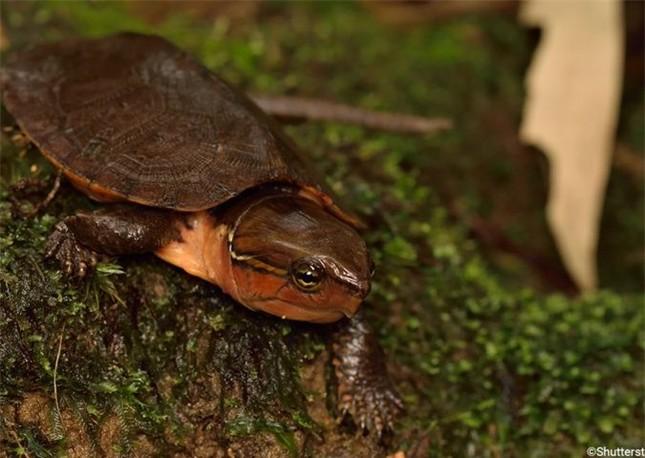 Loài rùa đầu to biết trèo cây, lạ nhất trong sách đỏ Việt Nam ảnh 5