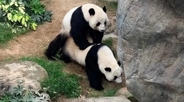 Sở thú đóng cửa, cặp gấu trúc lần đầu 'mây mưa' sau 10 năm chung sống ảnh 1