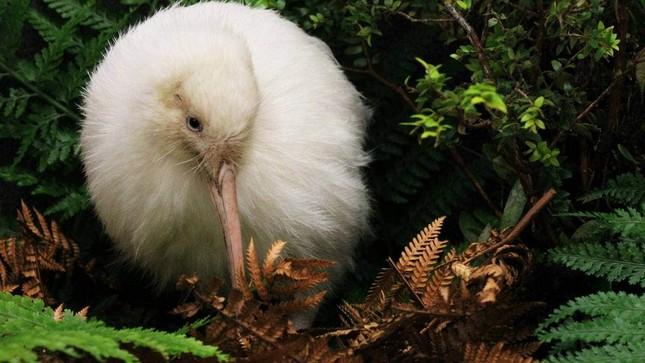 Con chim trắng chết trên bàn mổ khiến cả New Zealand tiếc thương ảnh 2