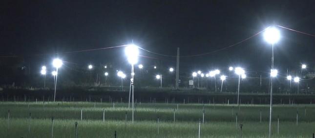Đèn bẫy bướm trên 'thủ phủ' hành tím ở Lý Sơn sáng rực như sao trời về đêm ảnh 4