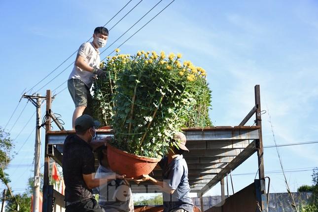 Sau bão chồng bão đi qua, sắc vàng ngập tràn 'thủ phủ' hoa cúc ở Quảng Ngãi ảnh 8