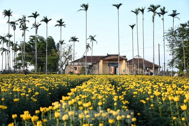 Sau bão chồng bão đi qua, sắc vàng ngập tràn 'thủ phủ' hoa cúc ở Quảng Ngãi ảnh 12