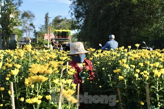 Sau bão chồng bão đi qua, sắc vàng ngập tràn 'thủ phủ' hoa cúc ở Quảng Ngãi ảnh 2