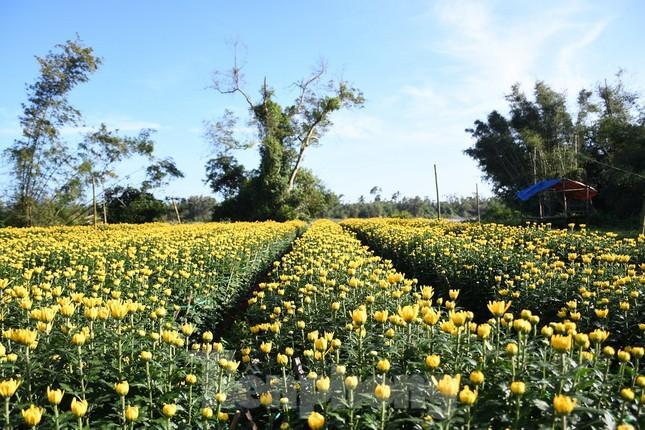 Sau bão chồng bão đi qua, sắc vàng ngập tràn 'thủ phủ' hoa cúc ở Quảng Ngãi ảnh 3