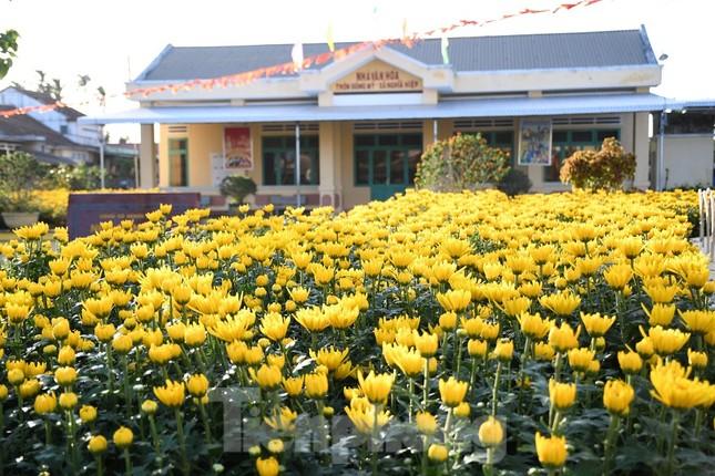 Sau bão chồng bão đi qua, sắc vàng ngập tràn 'thủ phủ' hoa cúc ở Quảng Ngãi ảnh 7