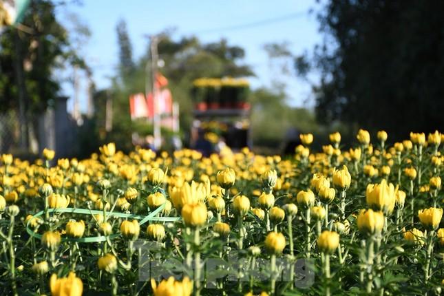 Sau bão chồng bão đi qua, sắc vàng ngập tràn 'thủ phủ' hoa cúc ở Quảng Ngãi ảnh 9