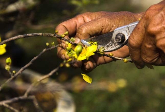 Nhà vườn thủ phủ mai vàng miền Trung tất bật 'tút' lại cây lo cho Tết năm sau ảnh 6