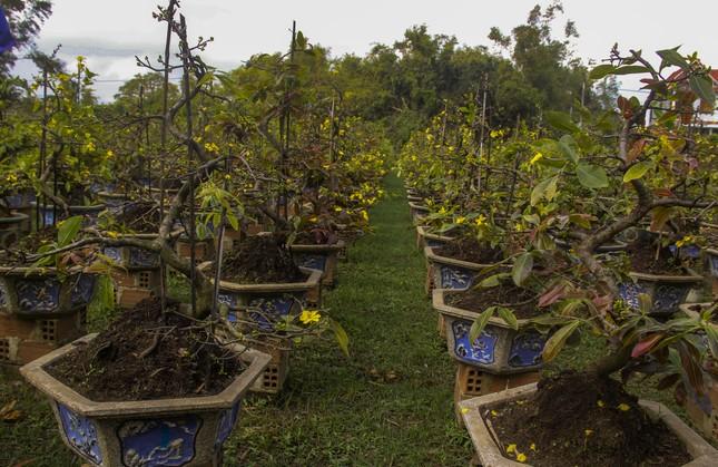 Nhà vườn thủ phủ mai vàng miền Trung tất bật 'tút' lại cây lo cho Tết năm sau ảnh 5