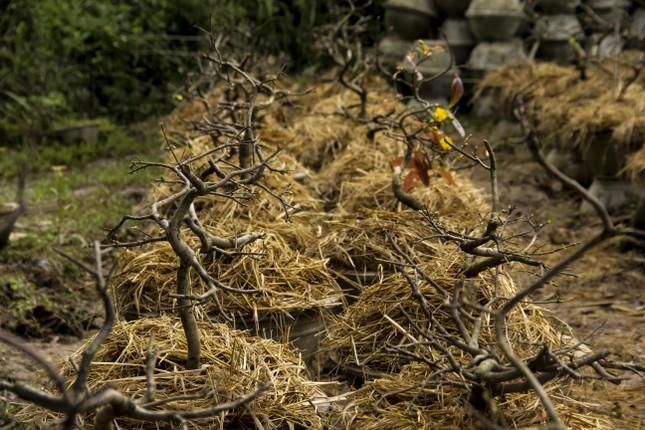 Nhà vườn thủ phủ mai vàng miền Trung tất bật 'tút' lại cây lo cho Tết năm sau ảnh 3