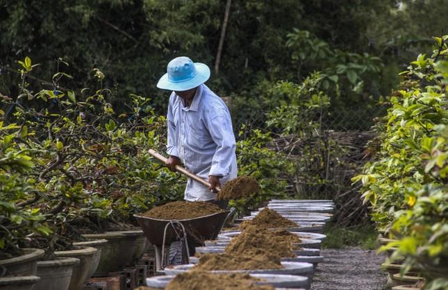 Nhà vườn thủ phủ mai vàng miền Trung tất bật 'tút' lại cây lo cho Tết năm sau ảnh 4