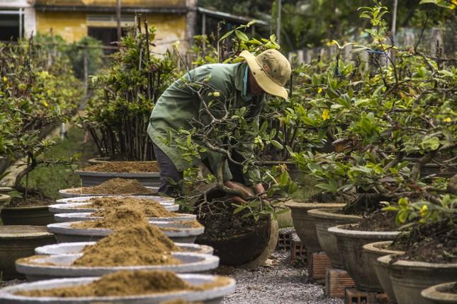 Nhà vườn thủ phủ mai vàng miền Trung tất bật 'tút' lại cây lo cho Tết năm sau ảnh 2