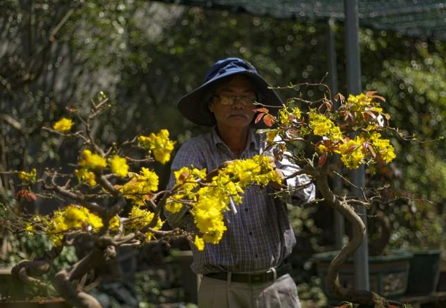 Nhà vườn thủ phủ mai vàng miền Trung tất bật 'tút' lại cây lo cho Tết năm sau ảnh 9