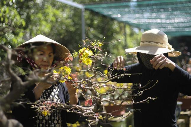 Nhà vườn thủ phủ mai vàng miền Trung tất bật 'tút' lại cây lo cho Tết năm sau ảnh 8