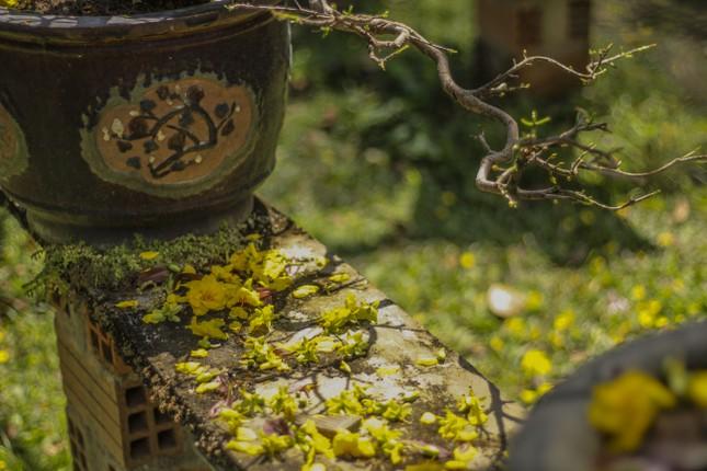 Nhà vườn thủ phủ mai vàng miền Trung tất bật 'tút' lại cây lo cho Tết năm sau ảnh 7