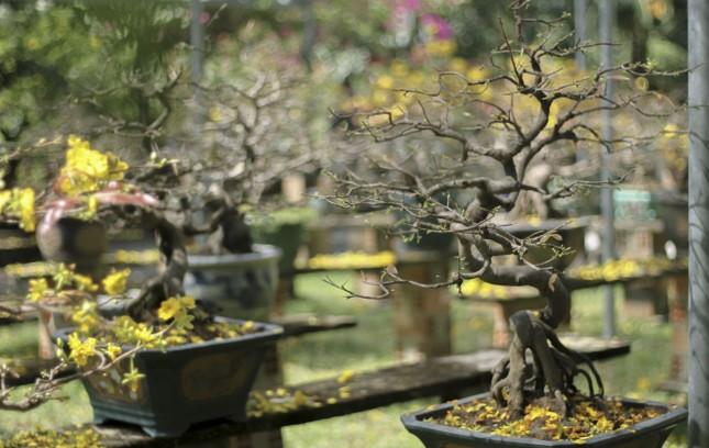 Nhà vườn thủ phủ mai vàng miền Trung tất bật 'tút' lại cây lo cho Tết năm sau ảnh 11