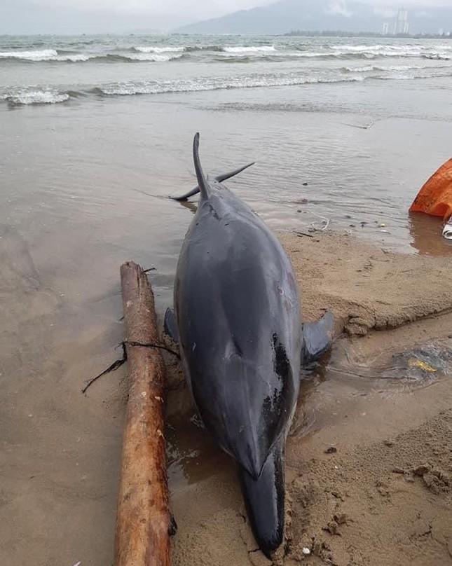 Đà Nẵng: Phát hiện xác một cá thể cá heo bị thương dạt vào bờ biển ảnh 1