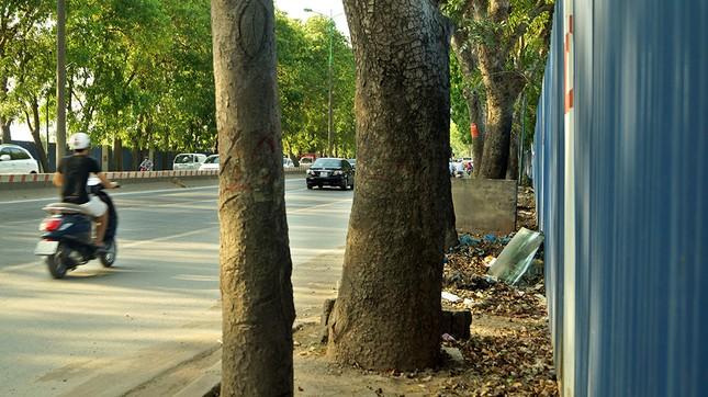 Con đường có 1300 cây xà cừ trong những ngày nắng nóng đỉnh điểm ảnh 4