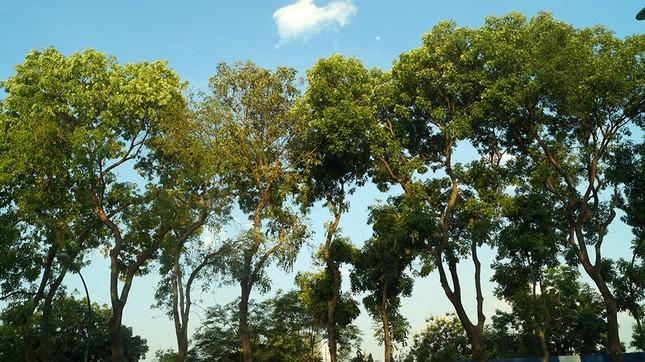 Con đường có 1300 cây xà cừ trong những ngày nắng nóng đỉnh điểm ảnh 13