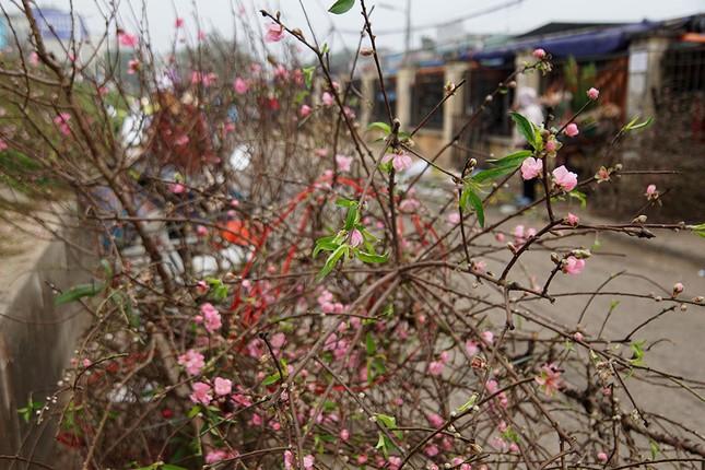 Đào Nhật Tân 'bung lụa' đón Tết sớm ở chợ hoa Hà Nội ảnh 11