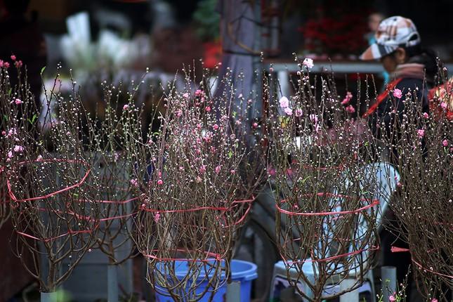 Đào Nhật Tân 'bung lụa' đón Tết sớm ở chợ hoa Hà Nội ảnh 13