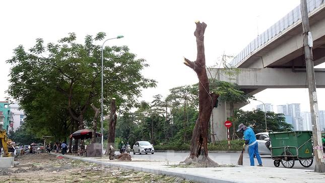 Chặt hạ 4 cây phượng vỹ lâu năm trên đường Hoàng Cầu ảnh 1