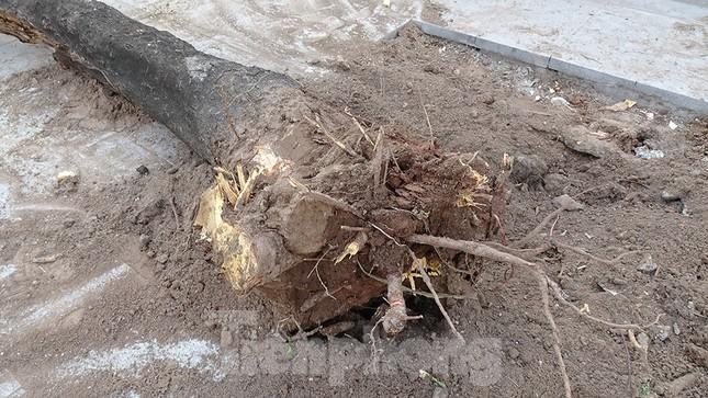 Chặt hạ 4 cây phượng vỹ lâu năm trên đường Hoàng Cầu ảnh 4