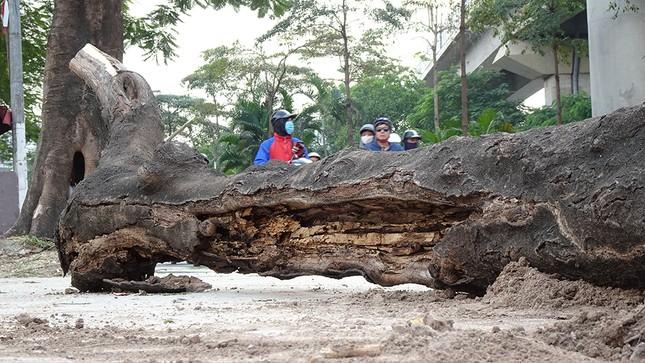 Chặt hạ 4 cây phượng vỹ lâu năm trên đường Hoàng Cầu ảnh 6