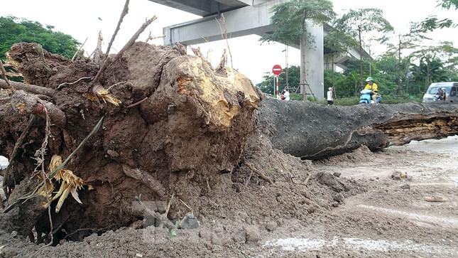 Chặt hạ 4 cây phượng vỹ lâu năm trên đường Hoàng Cầu ảnh 9