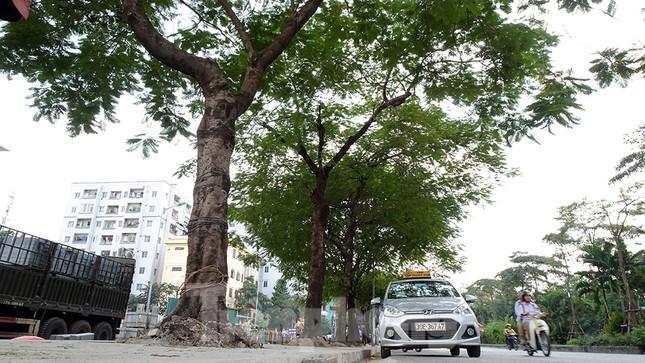 Chặt hạ 4 cây phượng vỹ lâu năm trên đường Hoàng Cầu ảnh 11