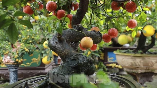 Bonsai chanh đào cực độc giá chục triệu bày Tết ảnh 12