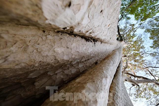 Đến Đắk Lắk chiêm ngưỡng hàng bằng lăng ổi độc đáo ảnh 7