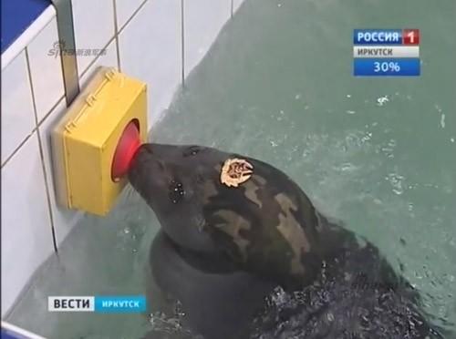 Lộ diện những chiến binh hải cẩu 'bảo bối' của quân đội Nga ảnh 7