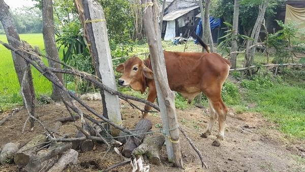 Dân 'tố' cán bộ xã nhận bò giống rồi đem bán cho lò mổ ảnh 2