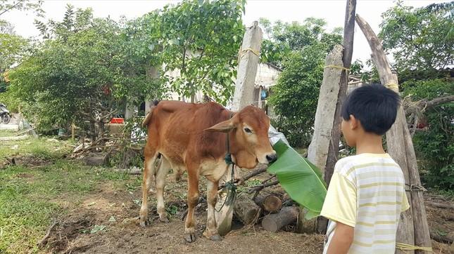 Dân 'tố' cán bộ xã nhận bò giống rồi đem bán cho lò mổ ảnh 1