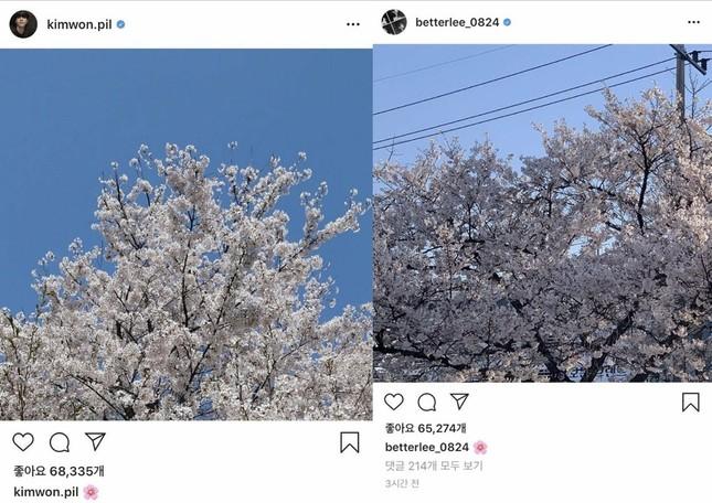 Naeun (April) dính tin đồn hẹn hò với hai nam idol cùng lúc vì ảnh hoa anh đào ảnh 3