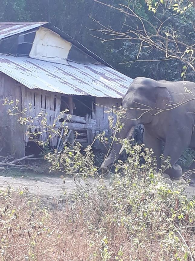 Đàn voi rừng quậy phá khu dân cư Đồng Nai bất chấp hàng rào điện ảnh 1
