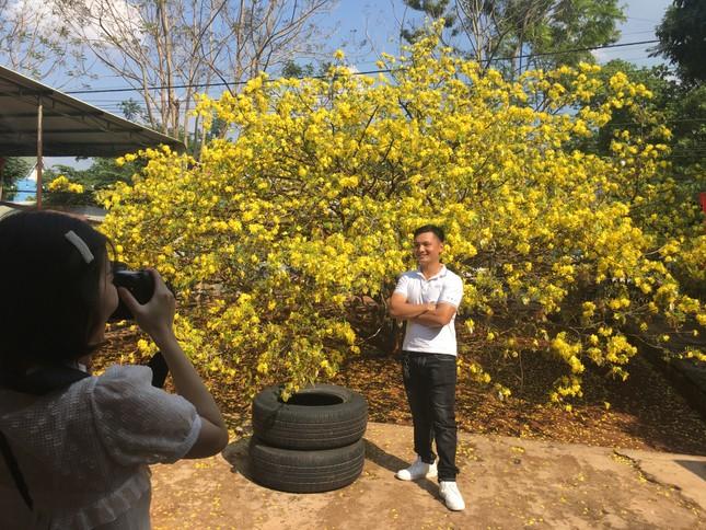 Nườm nượp du khách đến 'check-in' tại cây mai vàng 57 tuổi ở Đồng Nai ảnh 1