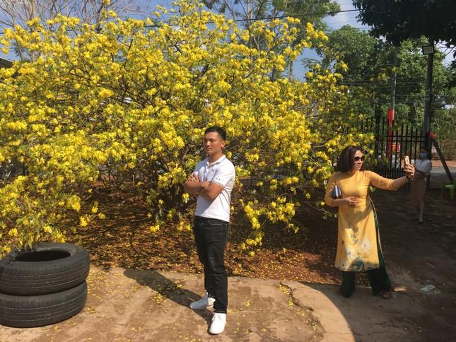Nườm nượp du khách đến 'check-in' tại cây mai vàng 57 tuổi ở Đồng Nai ảnh 2