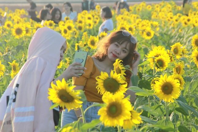 Vườn hoa hướng dương 'khổng lồ' ở Quảng Ngãi hút khách ngày cận Tết ảnh 8
