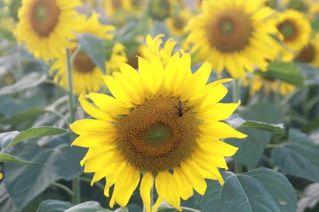 Vườn hoa hướng dương 'khổng lồ' ở Quảng Ngãi hút khách ngày cận Tết ảnh 5