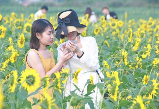 Vườn hoa hướng dương 'khổng lồ' ở Quảng Ngãi hút khách ngày cận Tết ảnh 11